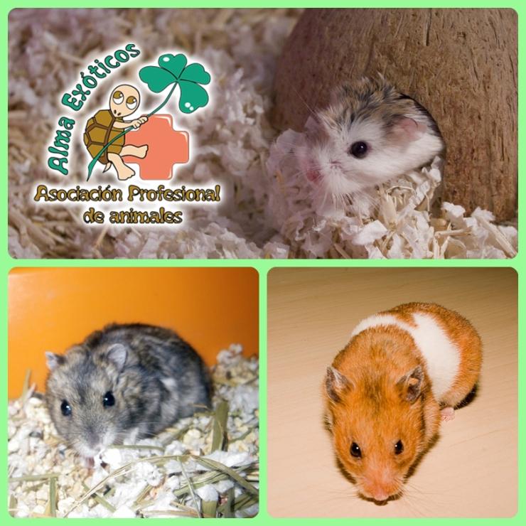 Hamsters copia
