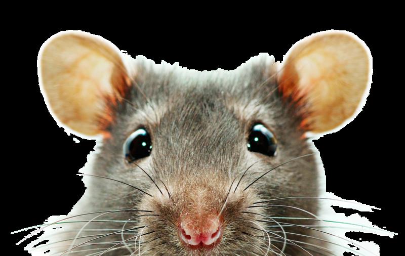 kisspng-rat-desktop-wallpaper-screensaver-1080p-display-re-5b0a59591f8c51.7702734415274048891292